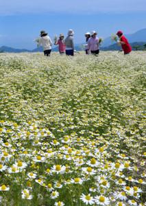 高原一面に咲くジャーマンカモミール=池田町の大峰高原で