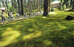 杉木立から差し込む木漏れ日で美しい表情を見せるコケ=勝山市の平泉寺白山神社で
