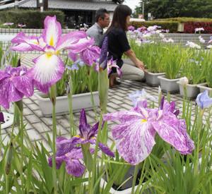 色鮮やかな花びらを広げるハナショウブ=米原市宇賀野の道の駅「近江母の郷」で