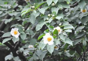 かれんな花を咲かせる沙羅=彦根市の龍潭寺で