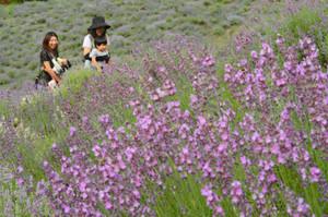 農場一面を紫に染めるラベンダー=池田町の夢農場で