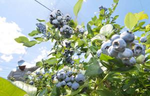 収穫期を迎え、青空の下で枝いっぱいに実を付けるブルーベリー=松本市で