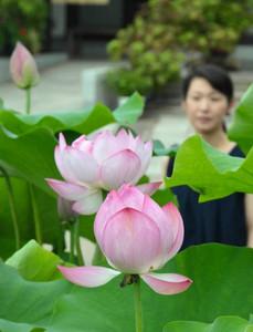 ピンク色の花を咲かせるオオガハス=田原市福江町の潮音寺で