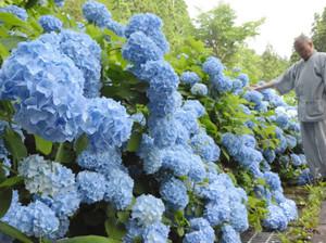 にぎやかに咲き誇るアジサイ=高山市丹生川町の飛騨千光寺で