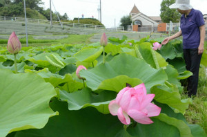 地元住民が丹精して大きな花を付けたハス=恵那市串原で