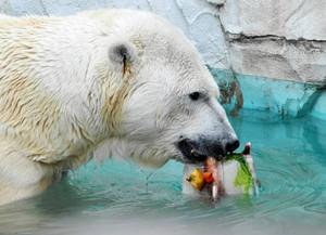 魚や果物などが入った氷をなめるホッキョクグマ=名古屋市千種区の東山動物園で