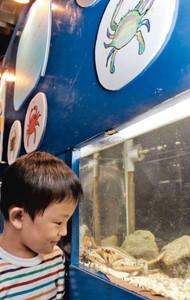 水族館に展示された大小さまざまなカニ=七尾市ののとじま水族館で