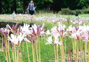北池に沿って咲き始めたナツズイセン=県中央植物園で