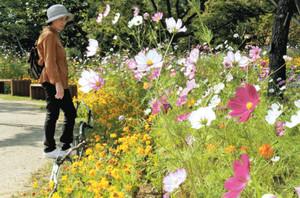 かれんな花を咲かせるコスモス=安曇野市の国営アルプスあづみの公園で