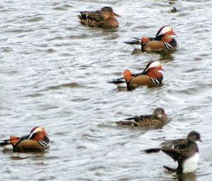 マガモなどと一緒に湖面を行ったり来たりするオシドリ=20日、磐田市の桶ケ谷沼で