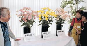 新品種のスプレーギク。左から「南砺カラント」「南砺イエローウィン」「南砺サーモン」=南砺市園芸植物園で