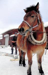 馬搬の練習をする木曽馬と乗馬センター職員=木曽町開田高原で(木曽馬の里提供)