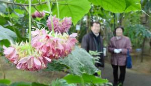 アジサイを逆さにしたように咲くドンベア=県中央植物園で