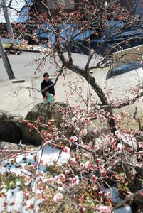 開花したばかりの梅を眺める参拝客=岡崎市中町で
