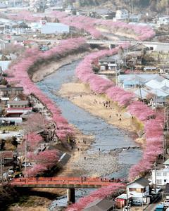 7分咲きとなり見頃を迎えた河津町の河津桜=25日午後、本社ヘリ「あさづる」から