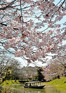 満開になった早咲き桜を楽しむ流し舟=加賀市大聖寺八間道で