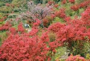 ヤマツツジの花で赤く染まった大平つつじ山=大紀町崎で