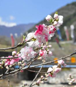 まつり実行委員会が「開花宣言」をしたハナモモ=阿智村園原の「花桃の里」で
