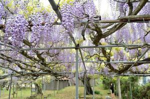 見頃を迎えた薄紫色のフジの花=飛騨市古川町で
