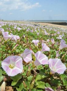 潮風を受けて揺れるハマヒルガオ=四日市市楠町吉崎の吉崎海岸で