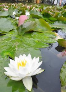 水上を彩る純白のスイレンの花=多気町丹生の丹生大師で