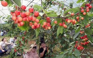 枝もたわわにつややかに実るサクランボ=越前市の観光農園「どんぐり山」で