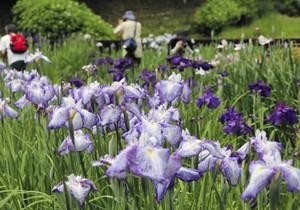 見頃を迎えたハナショウブを撮影する来場者=関市小屋名の県百年公園で