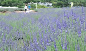 一面に咲き誇るラベンダー=上田市で