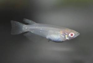 目が赤いメダカ「アルビノ」=竹島水族館提供