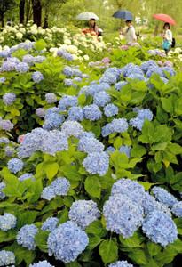 園内を鮮やかに彩るアジサイ=守山市の「もりやま芦刈園」で