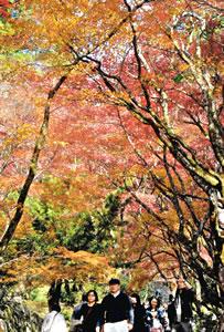 参道を彩る紅葉=長浜市の鶏足寺で
