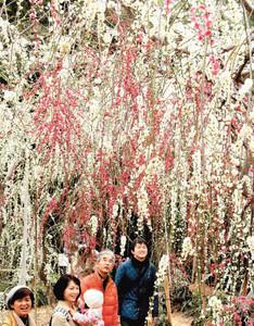 甘い香りを漂わせ、紅白で鮮やかに咲きそろった「しだれ梅のトンネル」=浜松市西区呉松町で