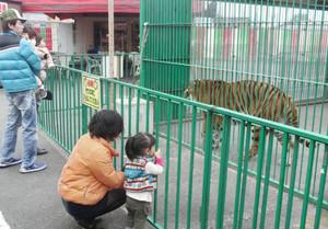 トラを見る来場者たち=桑名市星川で